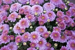 Backyard Chrysanthemum (Pejasar) Tags: chrysanthemum mum fall autumn flower bloomblossoms bloom blossoms tulsa oklahoma