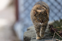 The Boss (Bob90901) Tags: boss cat portland maine animal rpg90901 2016 march feline canon 6d canonef70200mmf28lisiiusm canon70200f28lll depthoffield pungks pungkin winter focus dof