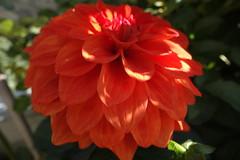 Dahlie, 75224/7423 (roba66) Tags: dahlie blumen blume blten flower blossom roba66 fleur flori flor flora flores bloem plants pflanzen makro macro closeup colour color farbe