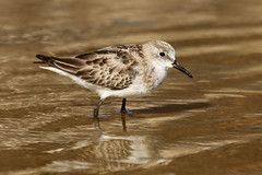 Little Stint - Calidris minuta (Roger Wasley) Tags: littlestint calidrisminuta bird wader fuencaliente saltpans lapalma canaryislands migration spain spanish europe european
