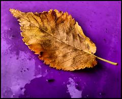 Autumn... (tina negus) Tags: autumn yellow leaf purble bin