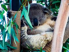 San Diego Zoo (Jun C Photography) Tags: ca em5 100th olympus omd mft m43 microfourthirds zoo sandiego anniversary sandiegozoo u43