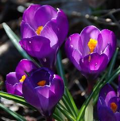 Crocuses Are One of Spring's DeLIGHTS! (antonychammond) Tags: flowers light orange flower garden spring purple crocus crocuses coth thegalaxy topshots flowerarebeautiful thebestofmimamorsgroups theoriginalgoldseal nature'splus
