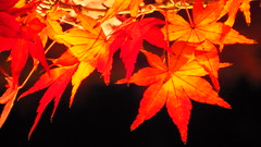 Shirotori Teien Garden Light up (ururun4412) Tags: light red up turn garden japanese maple illumination nagoya   aichi  atsuta yoshihide teien  shirotori ururun  urushihara  11161130  uru48ra uru112  ururun4412 4261130
