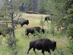 Yellowstone National Park (richardblack667) Tags: landscapes buffalo rocks wildlife parks falls rivers wyoming nationalparks bison