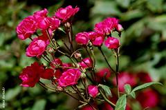 Domingo-rosa (sonia furtado) Tags: brazil brasil rosa pb ne cuit minirosa soniafurtado domingorosa