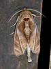 Notodontidae: Crinodes besckei (K. Zyskowski and Y. Bereshpolova) Tags: brazil notodontidae amazonas yavari javari palmari besckei crinodes