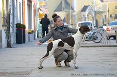 Morgan, the english pointer (PointerPower) Tags: dog dogs nikon pointer stack stacking duna standard stacked pointers vilshofen d5100 nikond5100 sáregresi pointerpowermorgan sáregresiinternationalvictory pointerpower