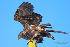 2015 Feb 21 Juvenile Bald Eagle 6817 (digitalmarbles) Tags: canada bird nature animal flying wings bc eagle britishcolumbia wildlife flight baldeagle young raptor juvenile birder haliaeetusleucocephalus birdofprey lowermainland deltabc birdphoto