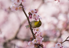 (* Yumi *) Tags: flower bird  sakura