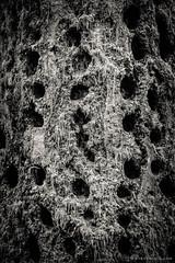 Lowland Winter Forest No. 12, Tiger Mountain, Washington, 2015 (Steve G. Bisig) Tags: blackandwhite usa nature monochrome forest washington unitedstates northwest pacificnorthwest northamerica washingtonstate tigermountain kingcounty