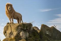 CASPER Male Lion (John Ambler) Tags: male john zoo photographer wildlife lion photographs casper isle wight ambler isleofwightzoo johnambler