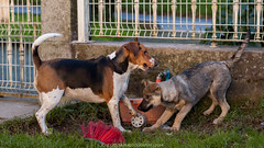 DSC_9296 (jncevcosta) Tags: beagle
