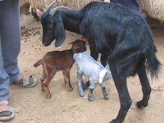 Nursing Goat at Douz Livestock Market