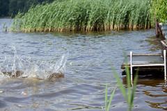 / Jump with a running start (svraskin_k) Tags: summer dog lake nature rural countryside russia dachshund russian   waterreservoir     moscowregion  canon70200mmf4     canon5dmarkii   vitenevo