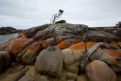 ring of fire (keith midson) Tags: red tree coast rocks australia driftwood tasmania coastline eastcoast bayoffires binalongbay