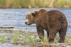 (daveinhst) Tags: bear park brown lake fall nature alaska river nikon wildlife september coastal national grizzly migration spawn predator brooks tif sockeye topaz 610 katmai slamon nakanek 092714