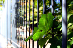 fig on the fence (1crzqbn) Tags: sunlight color roma fence fig bokeh 7d hbw 1crzqbn figonthefence