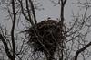 Eagles in the Nest1 (PeZ_III) Tags: nature vines eagle baldeagle americanbaldeagle eaglenest adolescenteagle