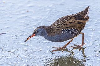 Water Rail on a frozen stream.