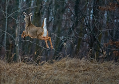 JumpingForJoy (jmishefske) Tags: park nature wisconsin franklin high jumping nikon wildlife january running center doe deer milwaukee whitetail wehr 2015 whitnall halescorners d7100