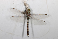 Male Blue-Spotted Hawker Dragonfly (Jenny Thynne) Tags: male insect dragonfly australia brisbane queensland odonata bluespottedhawker adversaeschna brevistyla