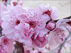Flowering plum 1 (Needleloca) Tags: garden blossoms ribbet plumblossoms floweringplum 2015
