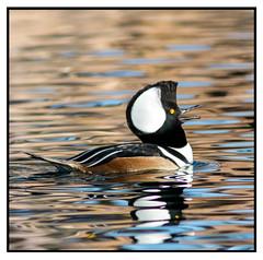 Hooded Merganser (Ed Sivon) Tags: las lake southwest bird nature water canon duck lasvegas wildlife nevada ducks american nevadadesert