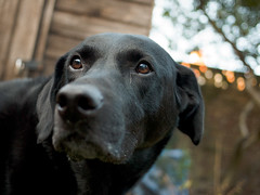 really (hoy:mp) Tags: dog labrador bodie panasonicdmcfs7 lumixg20mmf17asph