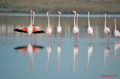Danza di corteggiamento - Effusioni d'amore - Febbraio 2015 (Tamparinu) Tags: parco flamingos saline cagliari molentargius stagno fenicotterirosa quartusantelena