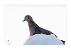 Mourning Dove (CoreysPics) Tags: winter snow bird canon print birdfeeder mourningdove dslr jpeg export ef100400f4556lisusm 7dmii eos7dmii