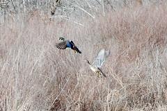 Water Birds of Western NY - Wood Duck (Aix sponsa) Drake & Hen in Keeney Swamp (George - with over 2 mil views - THANKS) Tags: winter usa newyork bird fauna forest march us spring unitedstatesofamerica swamp upstatenewyork northamerica newyorkstate birdwatching waterbirds westernnewyork woodduck dabbler aixsponsa alleganycounty birdsall drakeandhen nikond700 photogeorge wildbirding keeneyswampstateforest acdseeultimate8 waterbirdinbridaldress headwatersblackcreek