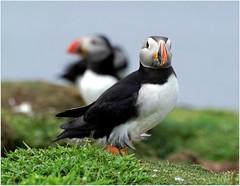 Puffins on Lunga (eric robb niven) Tags: summer nature scotland dundee wildlife isleofmull puffins seabirds wildbird ericrobbniven pentaxk50