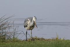 reiger vangt een visje (willemsknol) Tags: birds vogels reiger assen willemsknol