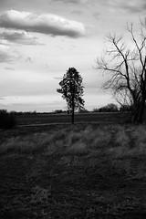 The Lone Pine Tree (Miss Marisa Renee) Tags: original trees blackandwhite tree monochrome vertical pinetree pine digital canon colorado mywork greyscale canon5dmarkii verticalnature marisarenee march2015