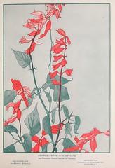 Anglų lietuvių žodynas. Žodis scarlet sage reiškia raudonasis šalavijas lietuviškai.
