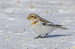 Snow Bunting I (Miguel de la Bastide) Tags: wild snow ontario canada bird nature nikon wildlife small sp di stcatharines tamron vc usd bunting snowbunting f563 d7000 150600mm