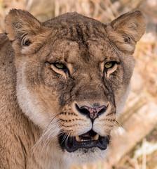 I do actually think lens is ok (Gjesdal.org) Tags: norway zoo nikon kristiansand dyrepark d810 dyreparkenikristiansand vestagder sigma150500mmf563apodgoshsm topazdetail topazremask topazclarity