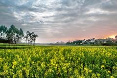 Favorite season (Yanni Mo) Tags: china morning light flower beautiful clouds sunrise landscape spring nikon down chengdu fields lovely hdr