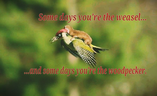 #WEASEL  #woodpecker #murder #joyofflight #fml