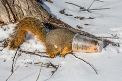 Eastern Fox Squirrel Feeding from McCafé Cup in Michigan (Lee Rentz) Tags: park food usa cold cup coffee animal tongue trash america fun mammal garbage squirrel midwest funny feeding drink eating chocolate michigan wildlife drinking mcdonalds container plastic human northamerica discarded behavior riverwalk mccafe midwestern foxsquirrel mccafé treesquirrel bigrapids muskegonriver easternfoxsquirrel sciurusniger bigrapidsriverwalk bryantsfoxsquirrel