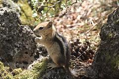Nervous energy (Gunn Shots (Mark Gunn)) Tags: oregon squirrel bendoregon groundsquirrel deschutesnationalforest goldenmantledgroundsquirrel