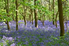 The Blue Carpet (EJ Images) Tags: blue bluebells blueflowers flowers flower woods woodland bluebellwood reydon reydonwoods suffolk england eastanglia nikond750 d750 nikonslr nikondslr slr dslr 24120mmlens 2016 ejimages nef dsc551501