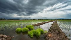 Transplanting season... (Alex cheong) Tags: landscape a7r fe1635mm sonya7r gndfilter ndfilter haida leefilter sonymalaysia storm cloud transplanting paddyfield tanjungkarang malaysia