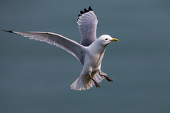 Kittiwake (Simon Stobart (back but busy)) Tags: kittiwake flying sea north england