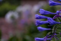 agapando lila 1 (mariaschivster) Tags: plant flower planta field de purple outdoor lila campo agapanthus depth morada profundidad