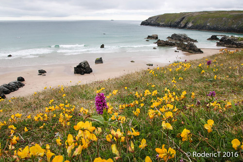 20160710-IMG_6265 Northern Purple Orchid Sango Sands Durness Highlands Scotland.jpg