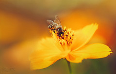 So happy to be alive (Kiss Midori) Tags: flower yellow nature beautiful bea