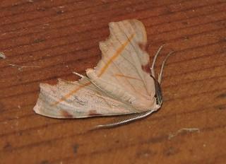 Longtan/龙潭 - Hypochrosis rufescens/四角斑尺蛾 DSCN7542