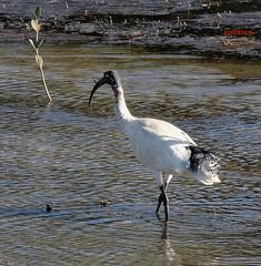 White Ibis (pat.bluey) Tags: warilla birds ibis white newsouthwales australia 1001nights 1001nightsmagiccity birdwatcher spiritofphotography